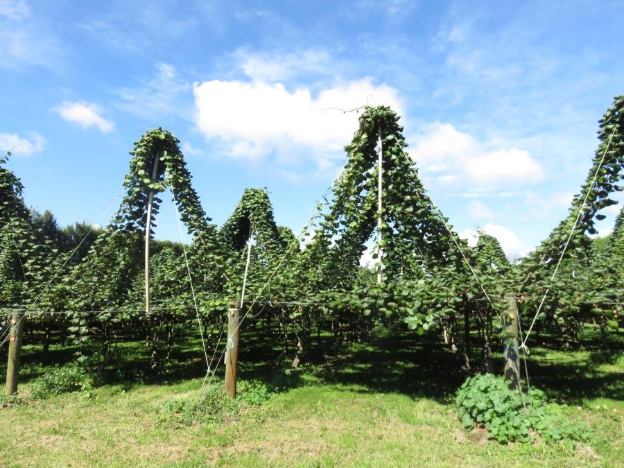 Huerta de Kiwis con plantas preparadas para el año que viene