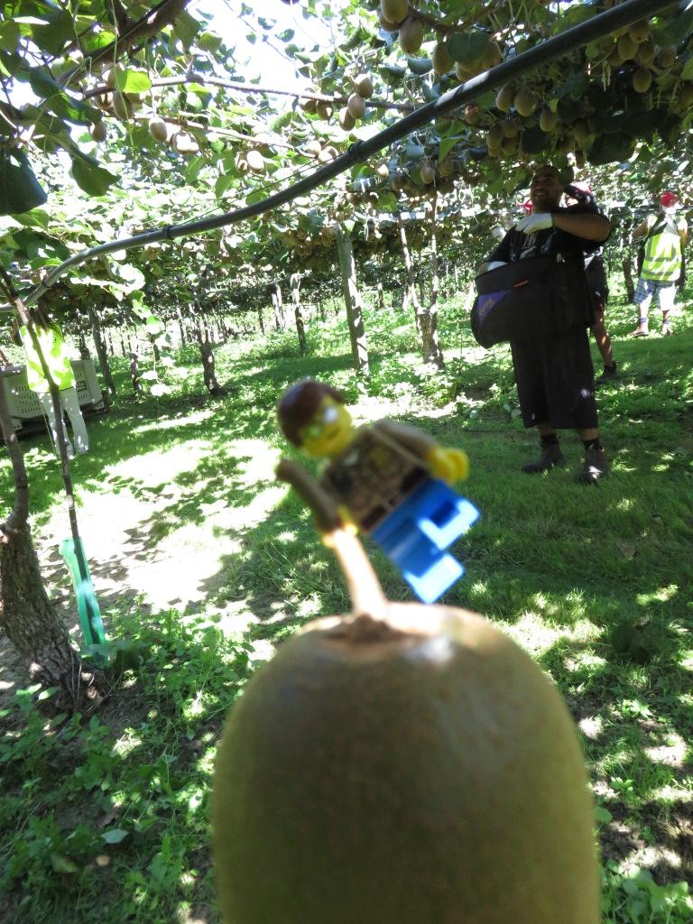 Un lego con su primer Kiwi cosechado!