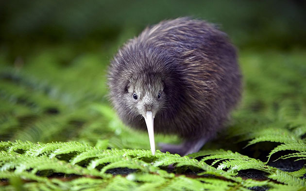 Un pájaro kiwi